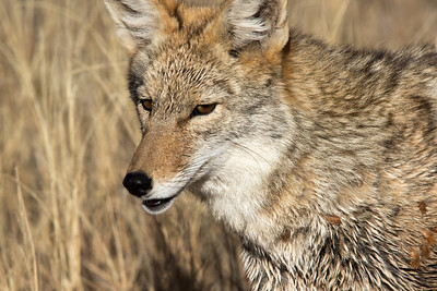 Coyote, Bosque Del Apache NWR, NM