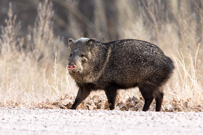 Collared Peccary, aka Javelina, Bosque Del Apache NWR, NM