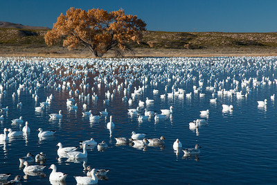Snow Geese, Bosque Del Apache NWR, NM