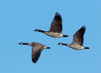 Canada Geese, Bosque Del Apache NWR, NM