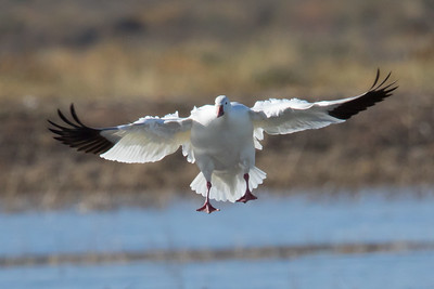 Snow Goose, Bosque Del Apache NWR, NM