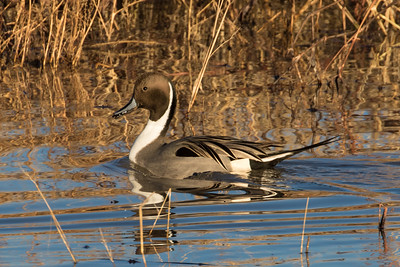 Northern Pintail Duck, Male, Bosque Del Apache NWR, NM