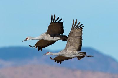 Sandhill Cranes, Bosque Del Apache NWR, NM