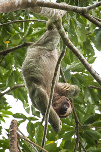 Three-toed Sloth, San Ramon, Costa Rica