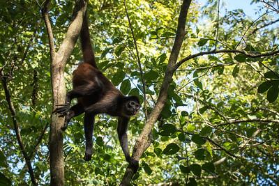 Spider Monkey, Puerto Jimenez, Costa Rica