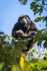 Howler Monkey (Alpha Male), Puerto Jimenez, Costa Rica