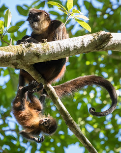 Spider Monkeys, Puerto Jimenez, Costa Rica