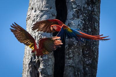 Scarlet Macaw, Puerto Jimenez, Costa Rica