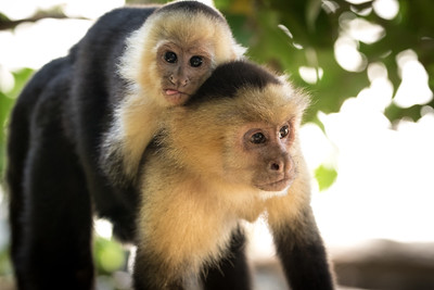 Capuchin Monkeys, Manuel Antonio NP, Costa Rica