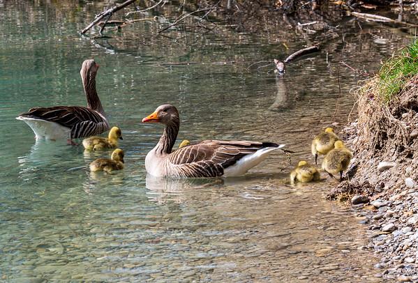 Geese family in Auensee | Schmiechen, Bayern, Deutschland