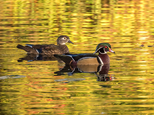 Wood Duck pair at Mud