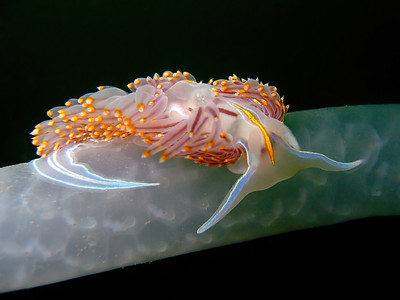 Horned Aeolid Nudibranch (Hermissenda Crassicornis) on Squid Egg Sack, La Jolla, CA