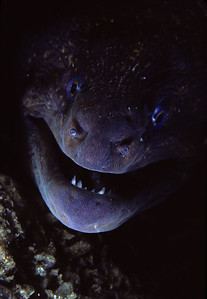 California Moray Eel, Laguna Beach, CA