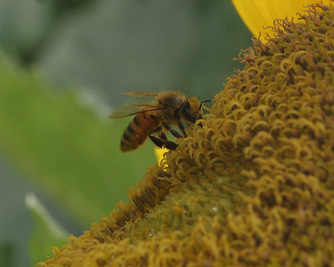 sunflower bee3