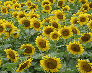 An Ocean of Sunflowers