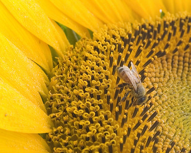 sunflower bee1