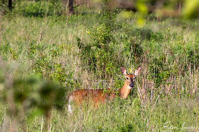 Deer, nested within foliage