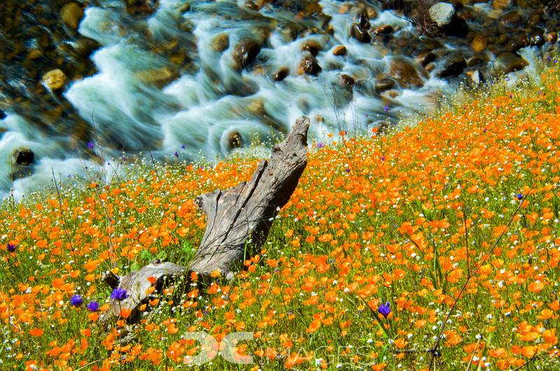 Rivers & Poppies