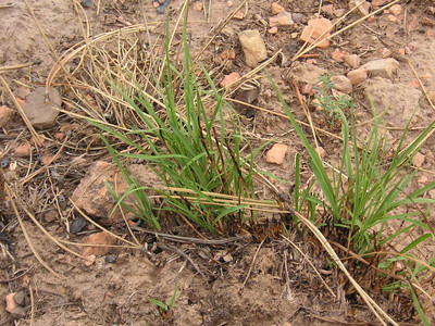 Within days of the fire, native grasses began sending out new shoots. Sideoats grama, a warm season grass, set seed that same summer. (Jackie Musgrove photo)