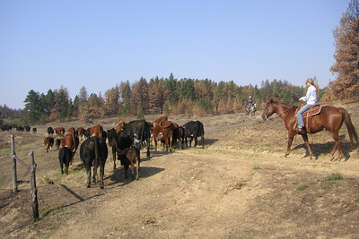 Katie Matula, Jackie Musgrove's daughter, helps move a small bunch of cattle in August 2012, approximately six weeks following the fire. Dead and dying pines can be seen among a smattering of those that escaped the flames. (Jackie Musgrove photo)