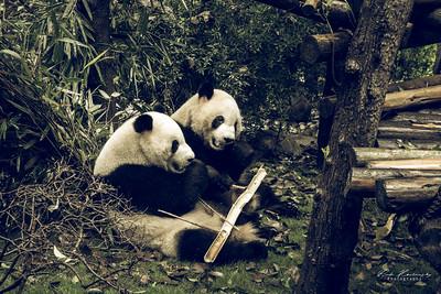 Pandas de Chengdu