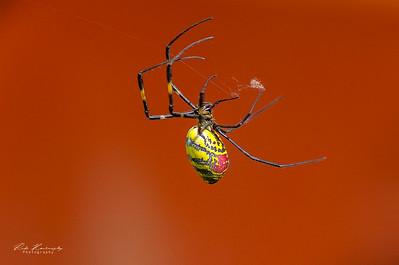 Nepali spider