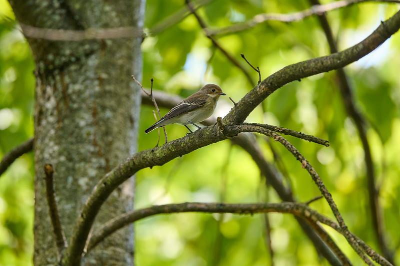femelle ou mâle en plumage postnuptial