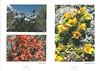 De hooggebergte flora van de Karakorum NRV Folium Alpinum 105,  page 38/39 februari 2012