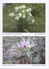 Autumn flowering plants of the Peloponnese, Greece (NRV, No. 85, Nov 2006, p. 33)