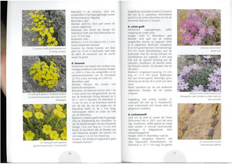 Dionysia in focus (NRV No. 96 August 2009 p. 20–21)