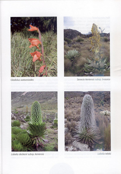 The Alpine Flora of East Africa (NRV, No. 88, Aug 2007, p. 13)
