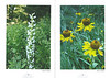 De flora en fauna van Zuidwest America. NRV. Folium Alpinum 107, Augustus 2012 pag.18-19