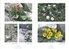 De hooggebergte flora van de Karakorum NRV Folium Alpinum 105,  page 34/35 februari 2012