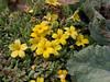 Dionysia revoluta ssp canescens  Ir 3515K