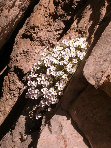 Dionysia curviflora forma alba Ir 1414K