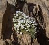 Dionysia curviflora forma alba M3