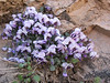 Viola pachyrrhiza M
