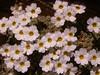 Dionysia curviflora forma alba Ir 1504K