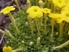 Dionysia diapensiifolia Ir 1018K