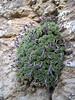 Dionysia bryoides KJ1