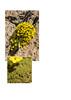Dionysia sarvestanica ssp. spathulata M2
