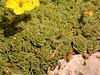 Dionysia sarvestanica ssp spathulata Ir 0069K