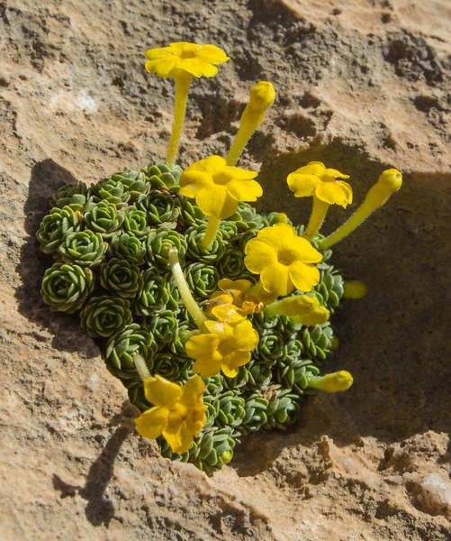Dionysia sarvestanica ssp spathulata M2