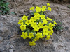 Dionysia lurorum M1