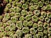 Dionysia curviflora Ir 1622K