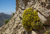 Dionysia revoluta ssp canescens M3