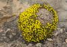 Dionysia sarvestanica ssp sarvestanica M2