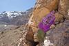 Dionysia curviflora M4
