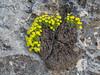 Dionysia diapensiifolia M1