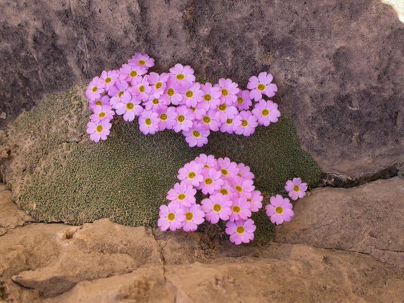 Dionysia curviflora Ir 1561K